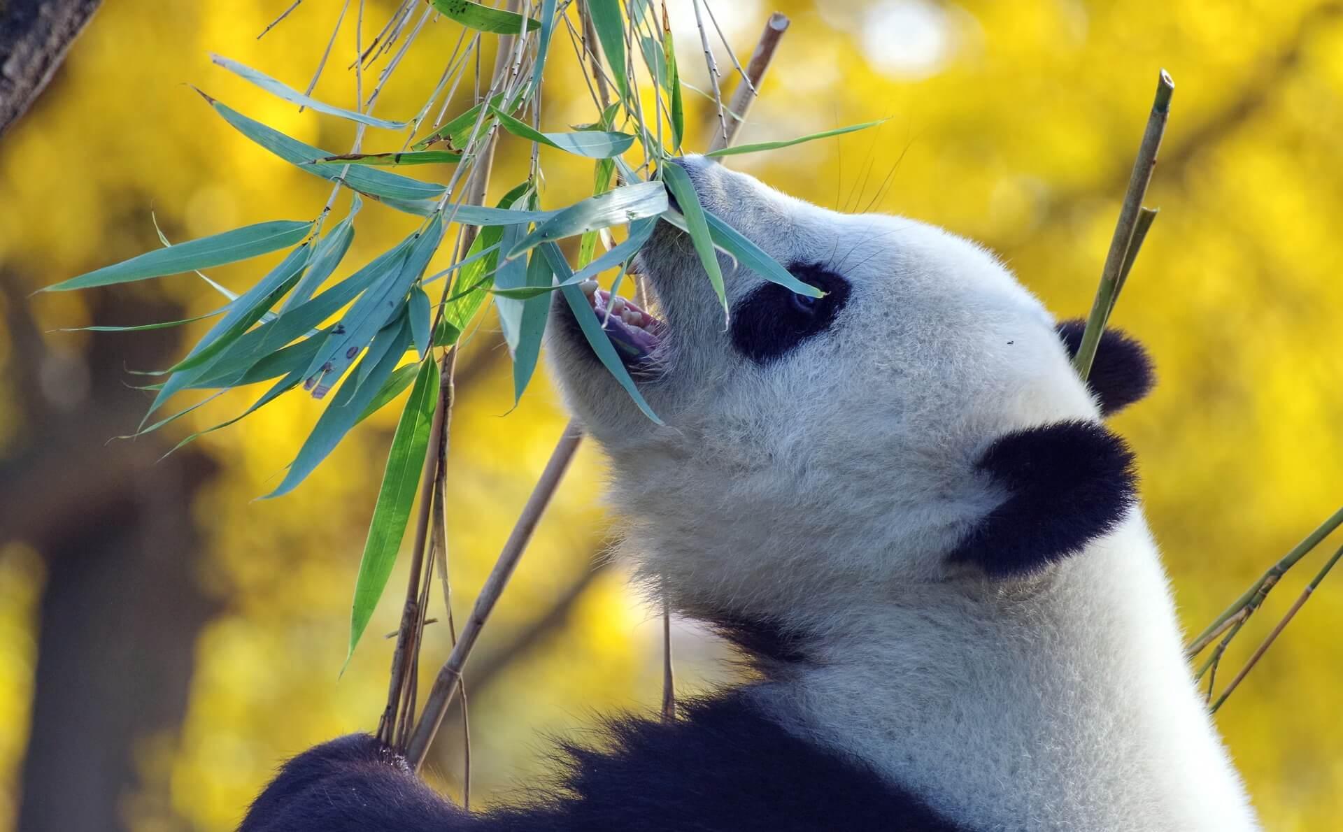 panda-4421395_1920